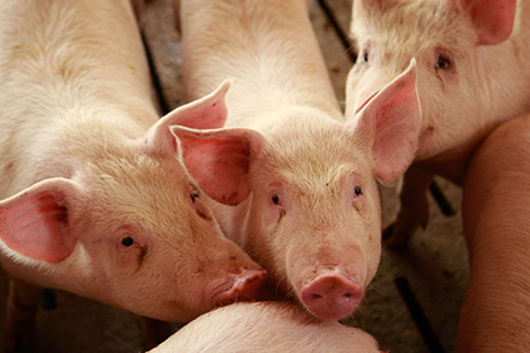 Especificação ISO para uma melhor gestão do bem-estar animal