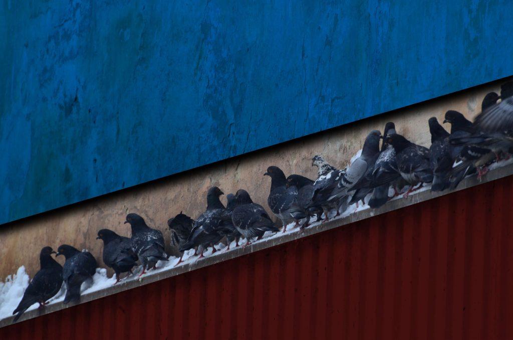O que fazer quando pombos invadem área produtiva de indústrias?
